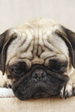 Bored Pug Royalty Free Stock Photos