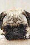 Bored Pug Royalty-vrije Stock Foto's