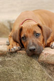 Bored puppy Royalty Free Stock Images
