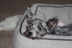 Bored miniature schnauzer puppy. royalty free stock photos