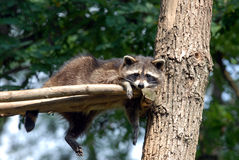 Bored raccoon. Raccoon who sat in the tree bored Stock Images