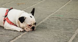 Bored and sad bulldog dog royalty free stock image