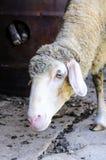 Bored sheep Royalty Free Stock Photography