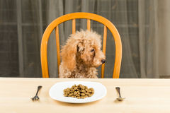 A bored and uninterested Poodle puppy looking away from her plate of kibbles on the dining table Royalty Free Stock Photos