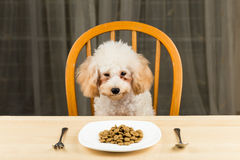 A bored and uninterested Poodle puppy looking at a plate of kibbles on the table Royalty Free Stock Image