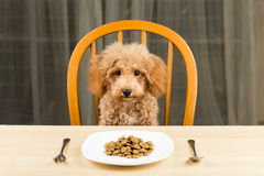 A bored and uninterested Poodle puppy with a plate of kibbles on the table Royalty Free Stock Photography