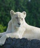 Bored white lion Stock Image