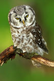 Borel owl in the forest. Small bird Boreal owl sitting on branch, Boreal owl with clear green forest background. Bird in nature ha. Bitat, Sweden Royalty Free Stock Photography