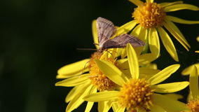 Borer καλαμποκιού - Pyralidae απόθεμα βίντεο