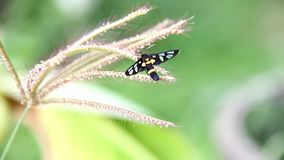 Borer χλόης τιγρών επιστημονικό όνομα: syntomoides imaon στη χλόη λουλουδιών απόθεμα βίντεο