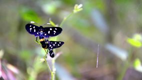 Borer χλόης τιγρών ζευγάρωμα πεταλούδων απόθεμα βίντεο