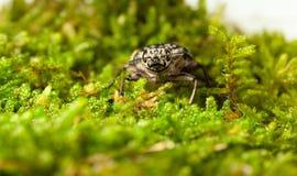 Borer beetle en face Royalty Free Stock Photos