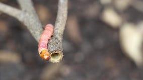 Κόκκινος borer μίσχων coffeae ή σκώρων Zeuzera καταστρέφει το δέντρο Είναι επικίνδυνα παράσιτα εντόμων με την ασθένεια εγκαταστάσ απόθεμα βίντεο