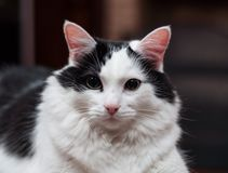 Borggård katten royaltyfri foto