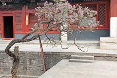 Borggården av den kinesiska templet och ett härligt blomma träd royaltyfri bild