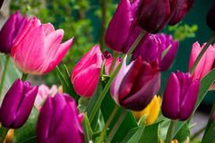 Borgonha e tulipas cor-de-rosa, borrão Imagem de Stock