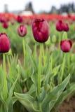 Borgonha escura - tulipa vermelha de terry imagens de stock royalty free