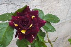 Borgonha profunda incomum e Rosa bicolor amarela brilhante fotografia de stock royalty free