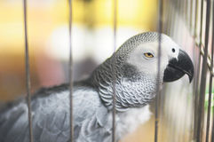 Boring. African grey parrot looks boring in the birdcage stock image