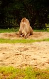 Boring camel lying on the sand Stock Images