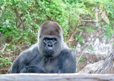 Boring Gorilla zit hier en wachtend op u stock afbeelding