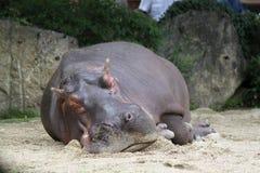 Boring Hippo Royalty Free Stock Photography