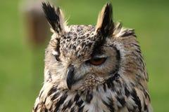 Boring Owl Royalty Free Stock Photo