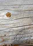 Boring tracks made by beetles in pine trees, stock photo
