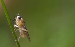 Boring vlieg van de stam op een blad Stock Afbeelding