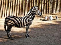 Boring zebra at the zoo Stock Photos