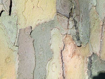 Bork dell'orizzontale dell'acero montano Fotografie Stock Libere da Diritti