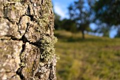 Bork of an old tree with its siblings in the background royalty free stock photo