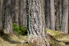Bork of Larch. The bork of a larch Royalty Free Stock Images