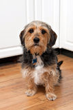 Borkie Dog Breed royalty free stock photo