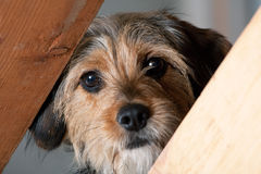 Borkie Dog Peeking Through a Gap Stock Image