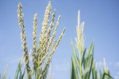 Borla ou inflorescência sobre a planta de milho Fotos de Stock