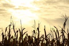 Borlas del maíz en la puesta del sol Foto de archivo