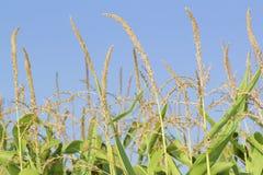 Borlas del maíz y cielo azul. Fotos de archivo libres de regalías