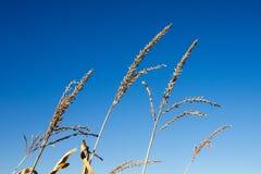 Borlas secas del maíz contra el cielo azul Imagen de archivo