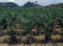 Bornéu: Palmoil-plantações em toda parte, de onde antes estavam as chuva-FO fotografia de stock