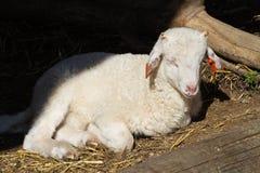 Born lamb Royalty Free Stock Image