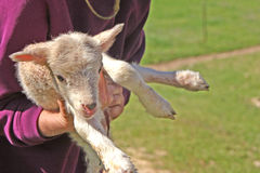 Born this morning. Farm wife holds up newborn lamb for inspection Royalty Free Stock Photo