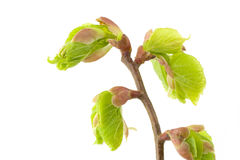 The born of new life in the spring. Blossom out linden (lime) tree Leaves. The born of new life in the spring royalty free stock image