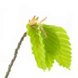 The born of new life in the spring. Blossom out alder tree Leaves. The born of new life in the spring Stock Images