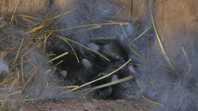 Born rabbits. Young rabbits in the nest. stock footage