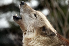 Born To Be Wild. Closeup of a Timber Wolf howling against a blurred background Stock Photo