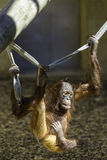 Bornean垂悬从绳索的Orangutam 免版税库存图片
