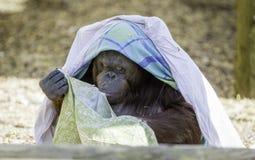 Bornean得到的Orangutam时兴 库存图片