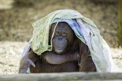 Bornean得到的Orangutam时兴 免版税库存照片