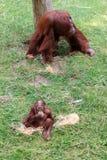 Bornean猩猩和婴孩 免版税图库摄影